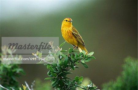 Paruline jaune se percher sur bush