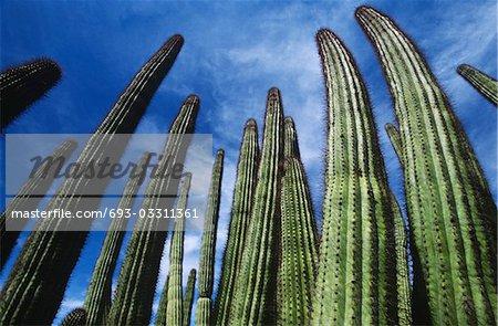 États-Unis, Arizona, Organ Pipe Cactus sur fond de ciel, faible angle vue
