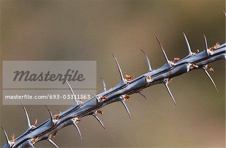 Une branche épineuse d'Ocotillo (Fouquieria splendens), gros plan