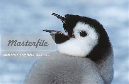 Gros plan des juvéniles Emperor Penguin avec bec ouvert