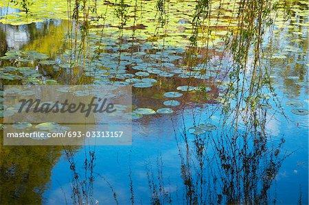 Branches de saule sur nénuphar étang couvert