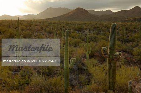 Cactus dans le désert, USA