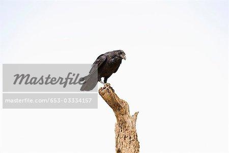 Eine Krähe thront auf einem toten Baum
