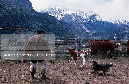 Huaso lassoing a calf,Los Vertintes Farm