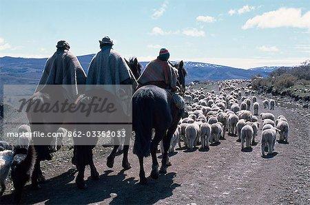 Huasos driving sheep