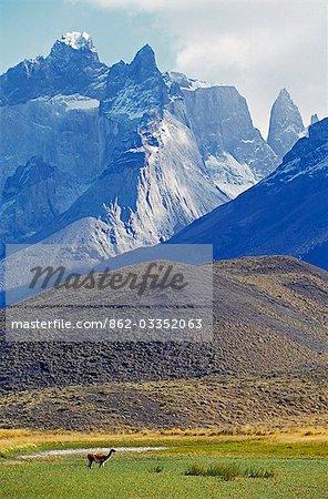 Guanaco alimentation devant Massif Paine, Parc National de Torres del Paine, Chili