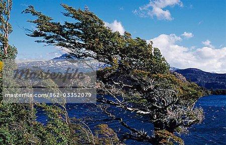 Wind gestrahlt, Baum, Paine Massiv, Torres del Paine Nationalpark, Patagonien, Chile