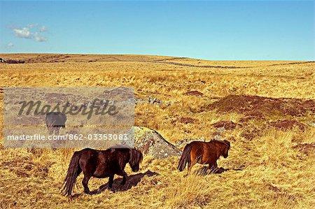 Poneys Dartmoor sur Fox Tor Mire