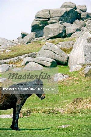 Poney en face de tor, Dartmoor, South Devon, Angleterre