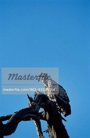Gélinotte vulture (Gyps africanus)