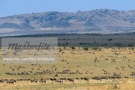 Grands troupeaux de gnous barbe blanche, l'avant-garde de la migration annuelle, dans les plaines du Serengeti ouest