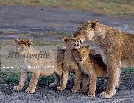 Une lionne reçoit un accueil enthousiaste de ses trois oursons.
