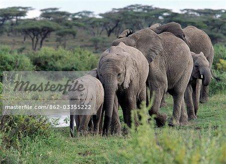 Un troupeau d'éléphants se déplace en file indienne, après avoir bu dans un bassin d'eau douce près de lac Ndutu, un lac saisonnier que les frontières le nombre Serengeti National Park.A des éléphants dans cette région est privé, une anomalie génétique qui ne semble pas leur nuire.