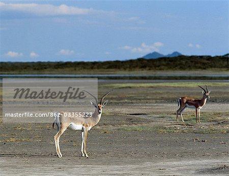 Gazelles de Grant sur les estrans vaseux du lac Ndutu, un lac saisonnier qui borde l'espèce Serengeti National Park.This se trouve dans l'ensemble de la branche orientale de la vallée du Grand Rift système.