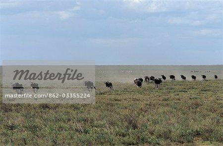 Stampede de Wildebeet à travers les plaines au cours de leur cycle annuel de la migration.