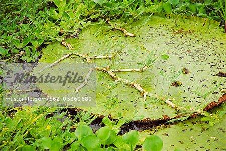 Pérou, Amazon, Amazon River. Le géant nénuphar (Victoria amazonica) flottant à côté du village de Belen, Iquitos. C'est la plus grande avec des feuilles parfois près de 3 m de diamètre, sur des tiges de 7 à 8 m de longueur. Victoria est nommée d'après la Reine Victoria.