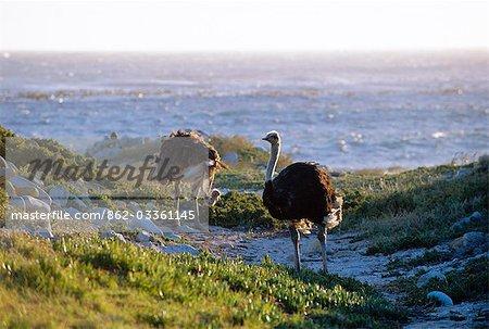 Ostrich feeding beside the ocean