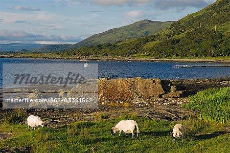 Black faced sheep roam free along the shore of Loch na Keal