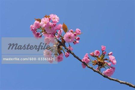 Cherry Blossom, lac de Neusiedl, Illmitz, Burgenland, Autriche