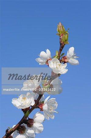 Cherry Blossom, lac de Neusiedl, Breitenbrunn, Burgenland, Autriche