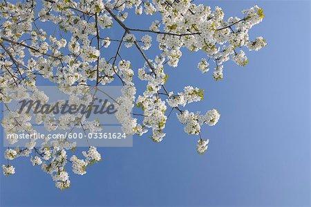 Cherry Blossom, lac de Neusiedl, Burgenland, Autriche