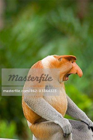 Alpha male Proboscis Monkey in territorial stance,Sabah,Borneo