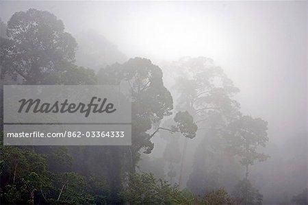 Brouillard couvrant la canopée de forêt tropicale primaire dans le domaine scientifique de la vallée Danum près de