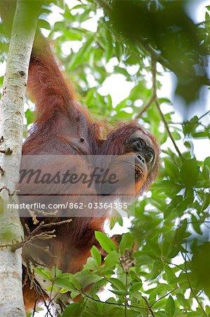 Orangs-outans sauvages dans des contextes arborescentes dans la forêt tropicale près de Sepilok, Bornéo