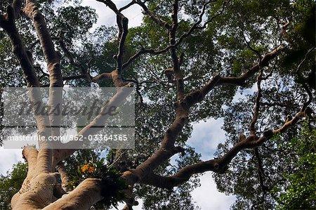 Malaisie, Bornéo, Sabah. La canopée de forêt tropicale primaire près de Station de recherche de la Royal Society à Danum Valley prend en charge parasitaires orchidées.