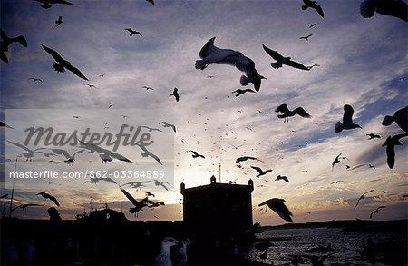 Mouettes affamées silhouetté contre le coucher de soleil dans le port d'Essaouira. Les mouettes sont atracted à la zone où les travailleurs marché nettoyer le poisson.