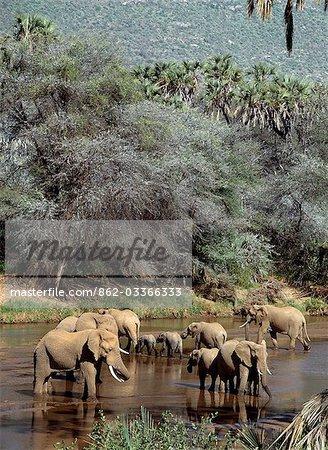 Éléphants d'abreuvement dans la rivière de Nyiru Uaso.