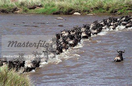 Gnou (Connochaetes taurinus) croisement Mara River