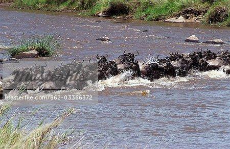 Gnou (Connochaetes taurinus) traversant la rivière mara sur les migrations