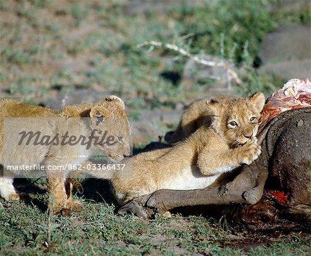 Tuer les lionceaux sur un buffle.Oursons naissent aveugles et ouvriront les yeux après deux semaines. Ils commencent à manger de la viande à six semaines.