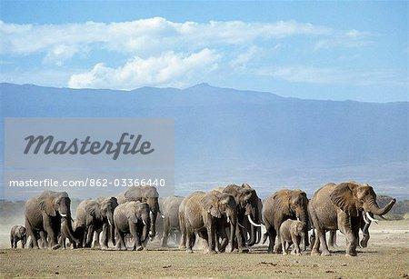 Un troupeau d'éléphants se déplace à travers les plaines de Amboseli.Les éléphants sont grégaires, vivant en groupes familiaux consistant en des vaches et de leur progéniture. Ils sont dirigés par une femme, connue comme une femme chef de famille. Parfois, les groupes familles se sont retrouvés pour former de grands troupeaux.