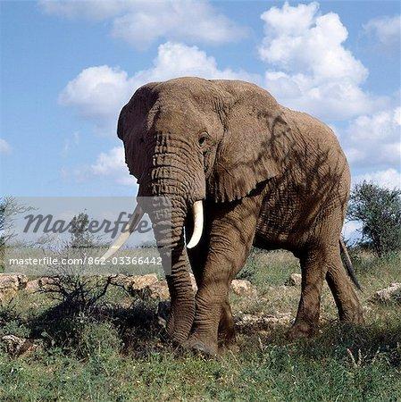 Un éléphant mâle dans la réserve nationale de Samburu. Les éléphants sont la couleur du sol où ils vivent en prenant des bains de poussière régulièrement pour garder loin mouches et autres insectes piqueurs.