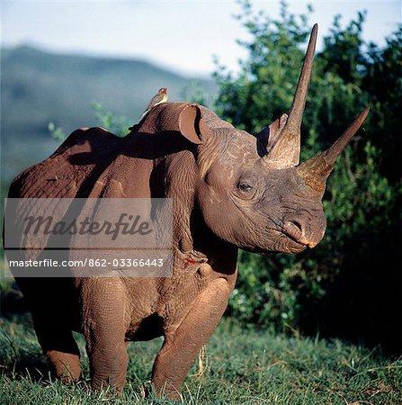 Un rhinocéros noir dans le saillant du Parc National Aberdare. Sa couleur de peau est le résultat des boue-Bauges qu'il fréquente dans la terre rouge vif de la région.Piquebœuf à bec rouge (Buphagus erythorhynchus) ou « bird tick » est perché sur le dos de l'animal. Comme son nom l'indique, il se nourrit sur les tiques et les mouches hématophages tout en gardant les plaies sur l'animal hôte ouverte.