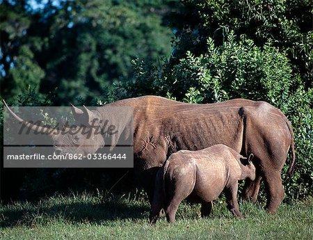 Un rhinocéros noir et le veau dans le saillant du Parc National Aberdare. Leur couleur de peau est le résultat des boue-Bauges qu'ils fréquentent dans la terre rouge vif de la région.Progéniture de Rhino téter pour jusqu'à un an et seulement commence à prendre l'eau après 4 à 5 mois.