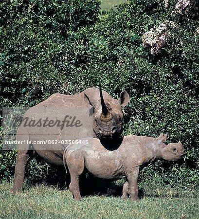 Un rhinocéros noir et le veau dans le saillant de la mère Park.A National Aberdare normalement vont chasser sa progéniture avant une nouvelle naissance. L'intervalle entre les naissances est de deux à cinq ans. .