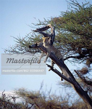 Un léopard repose sur les branches mortes de l'Acacia tortilis dans la réserve faunique nationale de Samburu. .