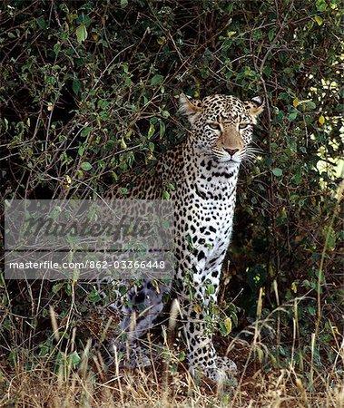 Un léopard dans la réserve faunique nationale de Samburu. .