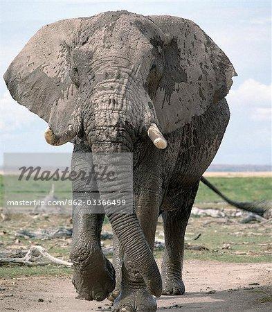 Un taureau éléphant incrustée dans la boue émerge d'un marais au Parc National d'Amboseli. Éléphants consomment l'équivalent d'environ 5 % de leur poids corporel (c'est à dire jusqu'à 300 kg) dans les vingt-quatre heures.