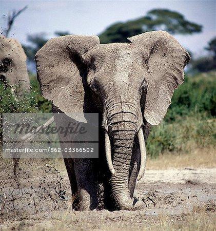 Un éléphant prend un bain de boue dans le Parc National d'Amboseli. En prenant des bains de boue ou poussière régulier pour garder loin mouches et autres insectes piqueurs, éléphants prennent la couleur du sol, de leur propre habitat.