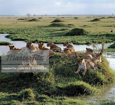 Une fierté de lions repose près de l'eau dans le noyau de Masai Mara jeu Reserve.The de toute fierté est un nombre de femelles apparentées.