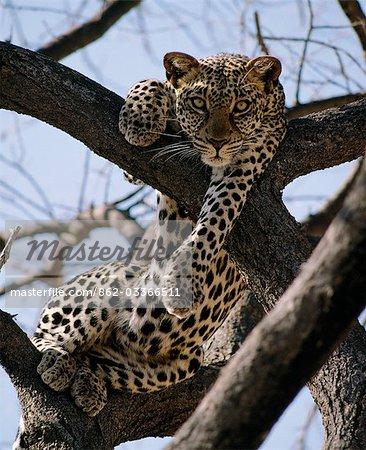 Un léopard repose dans la fourche d'un arbre Acacia tortilis Samburu National Game Reserve.