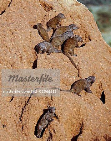 Un pack de mangoustes naines sur une termitière, qui sert leur den.La mangouste naine est le plus petit carnivore africain et vit en meute de jusqu'à vingt personnes avec une dominante élevage paire dans chaque pack. Leur coloration est très variée, allant de tan à brun foncé.