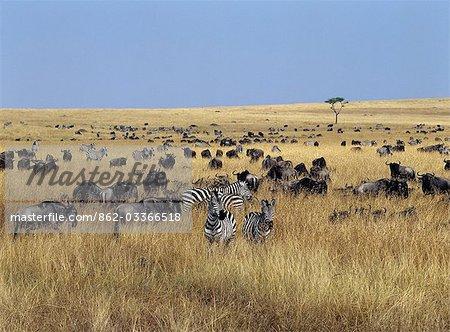 Barbe blanche gnus, ou les gnous et les zèbres de Burchell paissent les plaines herbeuses ouvertes dans le Masai Mara.