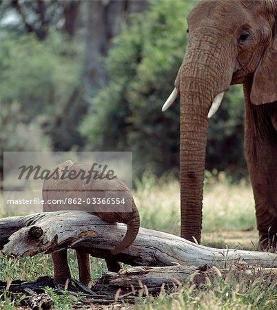 Une matriarche éléphant maintient une surveillance attentive sur son bébé dans la réserve nationale de Samburu. La période de gestation des éléphants est vingt-deux mois avec un intervalle entre les veaux de quatre à neuf ans.