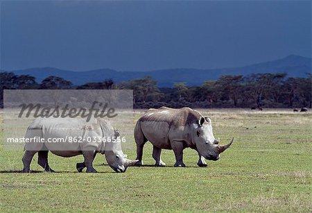Deux rhinocéros blancs paître dans le Parc National du lac Nakuru sous un ciel menaçant. Un Piquebœuf à bec rouge s'accroche au cou de l'un des rhinos.Rhinocéros blancs sont presque le double du poids du rhinocéros noirs et sont plus dociles. Ils sont brouteurs plutôt que des navigateurs afin qu'ils ne font pas concurrencent pour la nourriture avec le rhinocéros noirs.