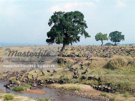 Un grand troupeau de gnous et des zèbres cross Sand River, une rivière saisonnière sur la frontière entre la réserve Masai Mara et le Serengeti Parc National du Nord de la Tanzanie. La migration annuelle des gnous ou gnu barbe blanche atteint Masai Mara du Serengeti vers la fin de juillet et reste environ trois mois avant de se diriger vers le sud à nouveau.